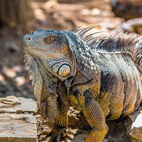 Iguana onr by Ken  Frischkorn - Animals Reptiles