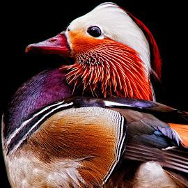 Mandarin Duck by John Phielix - Animals Birds