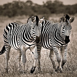 Zebra Sisters by Pieter J de Villiers - Black & White Animals