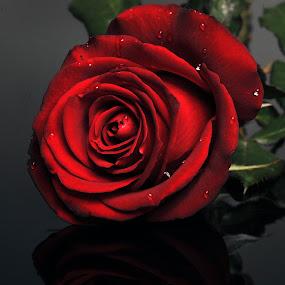 Dark red rose by Cristobal Garciaferro Rubio - Nature Up Close Flowers - 2011-2013