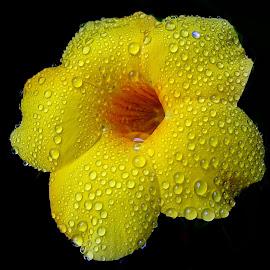 Alamanda  by Asif Bora - Flowers Flowers in the Wild