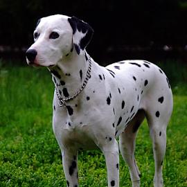 One Dalmatian by Ante Liović - Animals - Dogs Portraits ( dalmatian, dog )