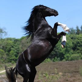 Barock Pinto Mare by Eveline van Beusichem - Animals Horses ( barock pinto mare )
