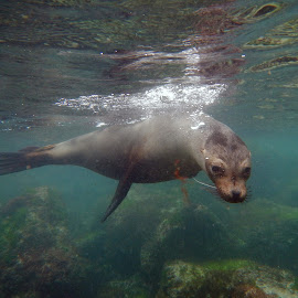 Inquisitive Sea Lion by Davis Hotard - Animals Sea Creatures ( underwater, sea lion, snorkeling, galapagos islands, galapagos )
