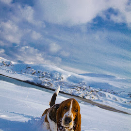 Charlie Brown on a walkabout by Annette Nordlinder - Animals - Dogs Portraits ( walking, mountain, snow, basset hound, cute )