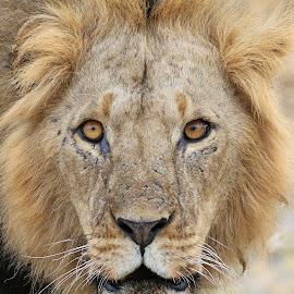 Pretty Boy! by Anthony Goldman - Animals Lions, Tigers & Big Cats ( big cat, wild, predator, nature, potrit, wildlife, tanzania, east africa )