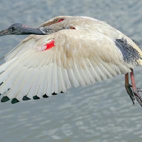 Ibis by Jason Day - Animals Birds