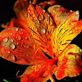 Bath due or dew-bath? by Pradeep Kumar - Flowers Single Flower