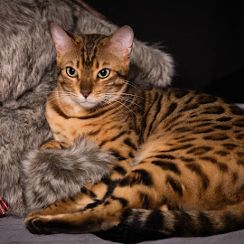 Hunter by James Baker - Animals - Cats Portraits ( cat, stray, bengal )