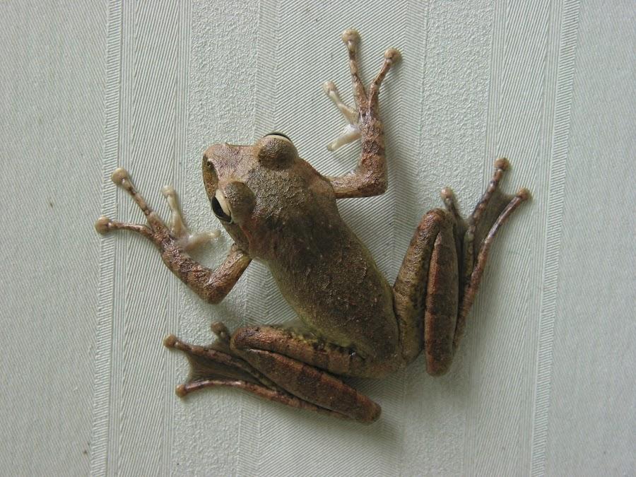 Hangin' Around by Nathaniel Bennett - Animals Amphibians ( macro, sticky, tree, frog, wallpaper )