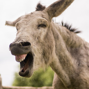 That Just Cracks Me Up by Elvis Dorencec - Animals Other ( laughing, donkey, donkey sanctuary, guelph )
