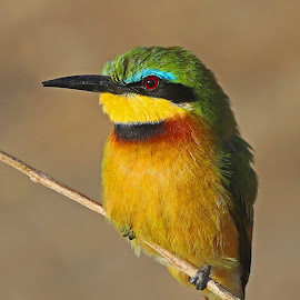 Little Bee-eater by Anthony Goldman - Animals Birds ( bird, nature, wildlife, tlittelwild, setrengeti tanzabia, bee-eater, east africa,  )
