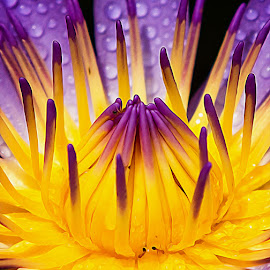 by Ryan Dominguez - Flowers Single Flower ( two tone style, pistil, water flower, style of a flower, two tone pistil, dew drops, flower parts, water lily, purple flower )