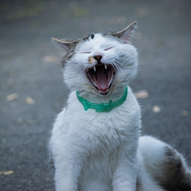 Yawning Kitty by Cam Lasley - Animals - Cats Kittens