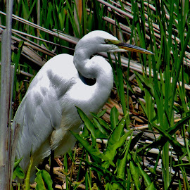 Great Egret  by Howard Sharper - Animals Birds ( egret, wetlands, bird photography, marsh, wildlife )