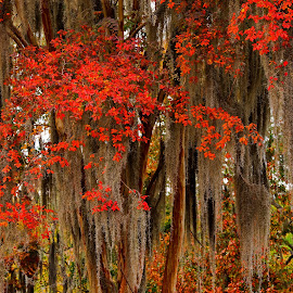 Crepe Myrtle and Spanish Moss by Jonathan Wheeler - City,  Street & Park  City Parks ( autumn leaves, parks, crepe myrtle, fall color, spanish moss )
