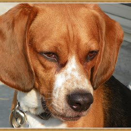 Beagle Bark by Sandy Stevens Krassinger - Animals - Dogs Portraits ( beagle, freckles, dog, mammal, animal )