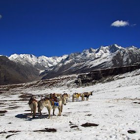 Rohtang Pass by Sautrik Dutta Mantrani - Landscapes Mountains & Hills ( snow, horse, india, travel, rohtang pass, shimla )
