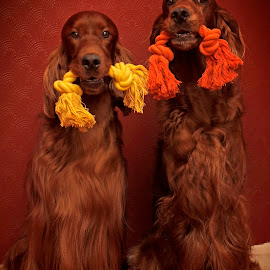 New Toy's by Ken Jarvis - Animals - Dogs Portraits ( irish setter, toys, dog portraits, irish, dog )