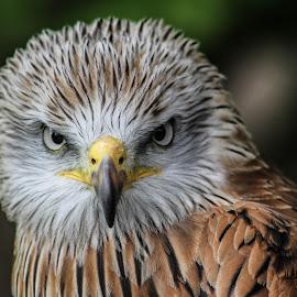 Staring by Garry Chisholm - Animals Birds ( bird, garry chisholm, nature, wildlife, prey, raptor, red kite )