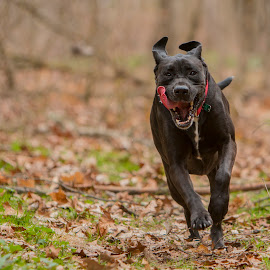 Running Rex by Jason Confer - Animals - Dogs Running (  )