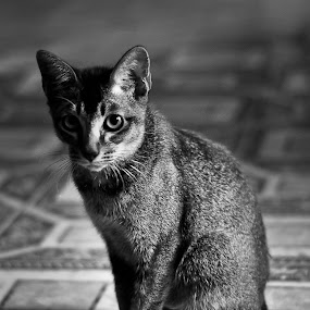 Cat's Stare by Mohd Afiq - Animals - Cats Portraits