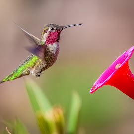 Ruby-throat Hummingbird by Dave Lipchen - Animals Birds ( ruby-throat hummingbird )