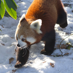 red panda by Marc Zangger - Animals Other Mammals ( red, ailurus fulgens, winter, snow, white, wildlife, head, red panda )