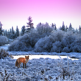 Fox in Meadow by Leslie Collins - Landscapes Prairies, Meadows & Fields ( winter, sky, fox, canada, cold, bushes, snow, meadow, trees, frosty )
