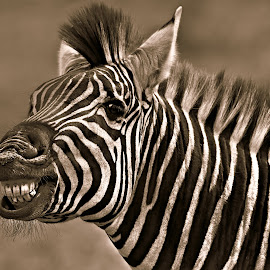 The Zebra Smile by Pieter J de Villiers - Black & White Animals ( mammals, animals, black & white, zebra, smile, teeth, portrait )