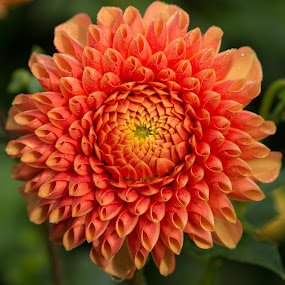 Orange Daisy by Merina Tjen - Lim - Nature Up Close Flowers - 2011-2013 ( daisy; dahlia; orange; blooming; canon )