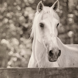 Sepia Horse Of Coarse by Bill Tiepelman - Animals Horses ( fence, sepia, nature, horse, wildlife, toned, animal )