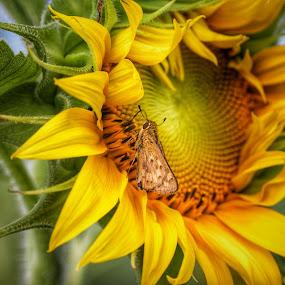 SUN FLOWERS   by Michael Guerrero - Flowers Flowers in the Wild ( wildflower, sunflowers, nature up close, sunshine, hawaii )
