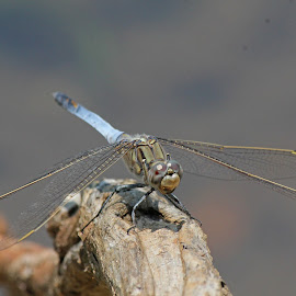Blue  Dragonfly by Lee Newman - Animals Insects & Spiders ( macro, aeronaut, insect, dragonfly, blue skimmer )