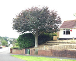 tree to be trimmed in devon