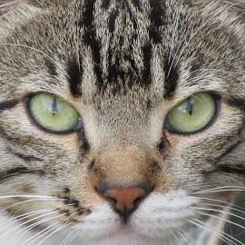 kedi portresi by Salih Sarıcaoğlu - Animals - Cats Portraits ( yüz, hayvan, kedi, yeşil, makro )