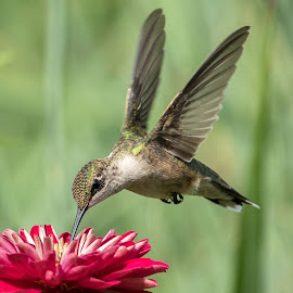Hummingbird by Kathleen Otto - Animals Birds