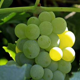 Green Grapes #1 by Tony Huffaker - Food & Drink Fruits & Vegetables ( yard, green, fruit, vine, grapes )