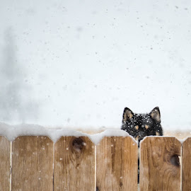 Bat Dog by Chad Roberts - Animals - Dogs Puppies ( winter, shiba inu, cold, snow, frost, maple )