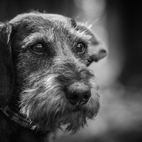Dog Portrait by Teus Renes - Animals - Dogs Portraits ( nature, black and white, upclose, dog, portriat, eyes )