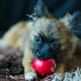 POMPOM by Darryl Espiritu - Animals - Dogs Playing