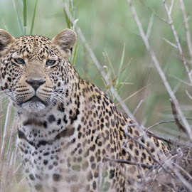 Leopard by Mike Pepe - Animals Lions, Tigers & Big Cats ( color, south africa, kirkman, sabi sand, leopard )