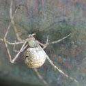 Cobweb Spider