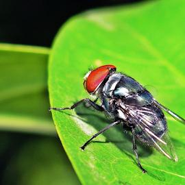 Fly by Dedi Mulyadi Rusnandar - Animals Insects & Spiders ( animals, leafs, fly, leaf, insects, insect, animal )