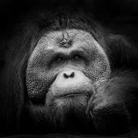 by Justin Koh - Animals Other Mammals ( black and white, orangutan, portrait )