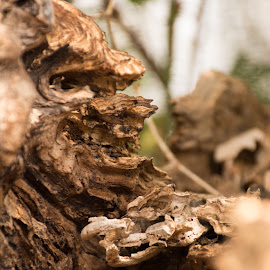 Face in the Wood by Eva Ryan - Nature Up Close Other Natural Objects ( tree, wood, oklahoma, creature, martin park nature center )