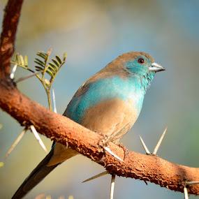 Blue Waxbill by Hannes van Rooyen - Animals Birds ( blue, waxbill, finches, adult,  )