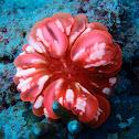 Cynarina Button Coral