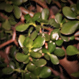 Spider and Web by Sarah Harding - Novices Only Wildlife ( nature, novices only, wildlife, web, spider )