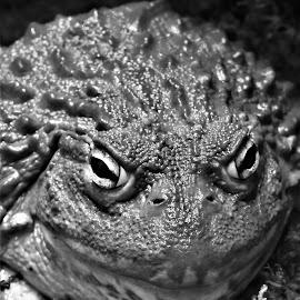 by Rhonda Rossi - Animals Amphibians (  )